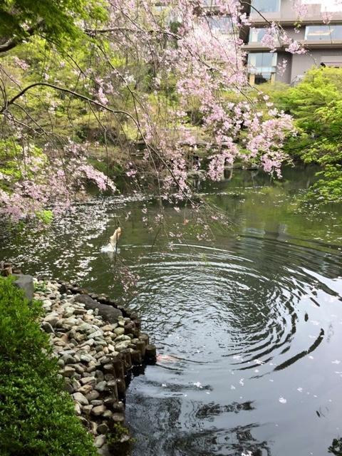 【ママイキ・カツマーつながりママさんと!】八芳園・スラッシュカフェの桜テラス♪