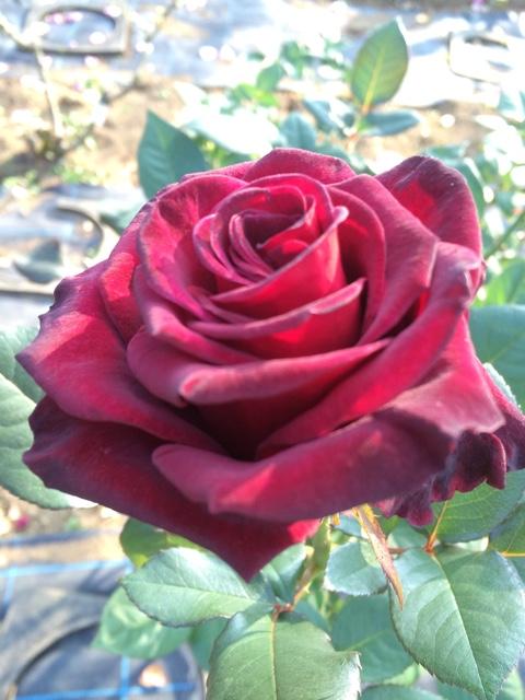 【無料で楽しめる、生田緑地とばら苑!】週末に是非。ばら苑は、11/1まで。