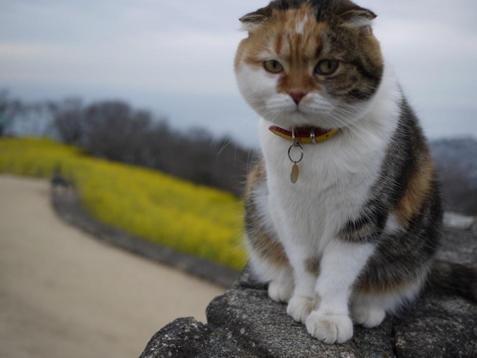 """神奈川・二宮の吾妻山公園は菜の花が満開!絶景の富士山、名物猫""""チャミ""""にも会えるかも。"""